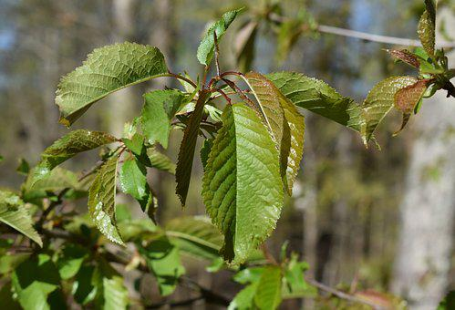 New Plum Leaves, Plum Tree, Spring, Plant, Fruit