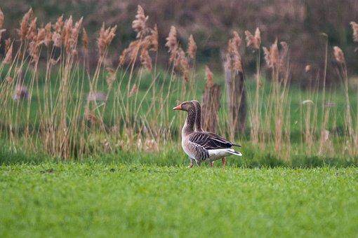 Wild Geese, Goose, Geese, Meadow, Wild Goose