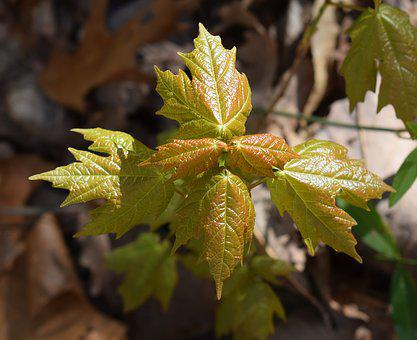 Maple Leaves, Sapling, New, Tree, Plant, Red, Green