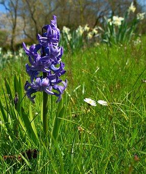 Hyacinth, Flower, Blossom, Bloom, Blue, Nature, Plant