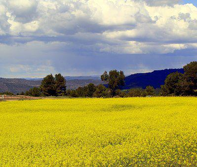 Rape, Plantation, Agriculture, Plants, Landscape