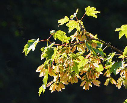 Maple, Leaves, Seed Capsules, Spring, Tree, Nature