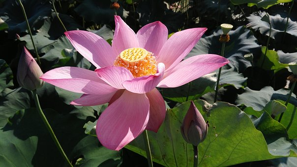 Lotus, Summer, Good Weather