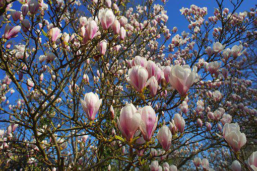 Magnolia, Tulip Magnolia, Early Bloomer, Spring, Nature