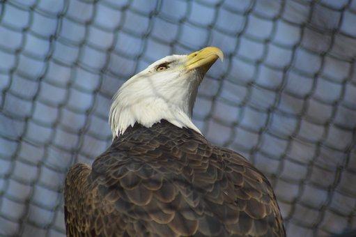 Bald Eagle, Bird, Eagle, Bald, Nature, Wildlife, Raptor