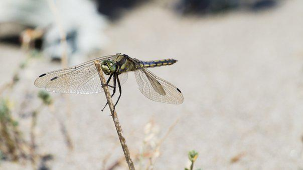 Dragonfly, Nature, Close