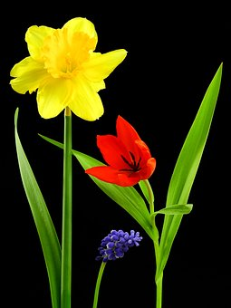 Flower, Plant, Nature, Narcissus, Osterglocken, Tulip