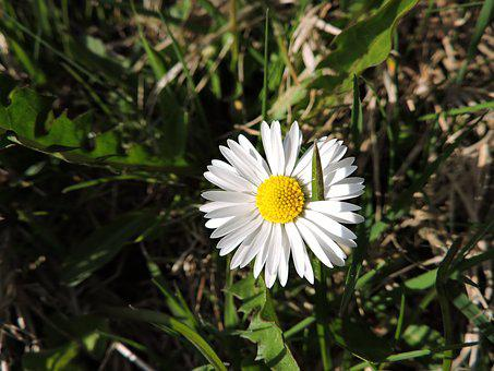 Daisy, Meadow, Nature, Green, Wildflowers, Close, Grass