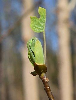 Tulip Tree Poplar, Poplar, Tree, New Leaves, Plant