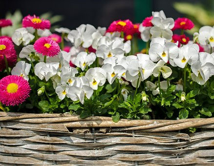Flowers, Spring, Bloom, Nasty Daisy, Pansy, White, Pink