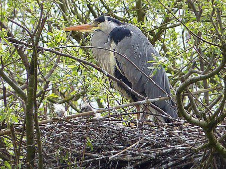 Grey Heron, Heron, Bird's Nest, Water Bird, Plumage