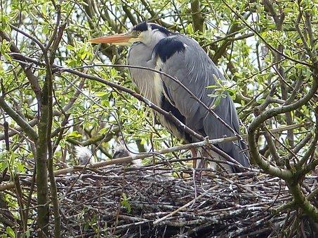 Grey Heron, Heron, Bird's Nest, Water Bird, Plumage