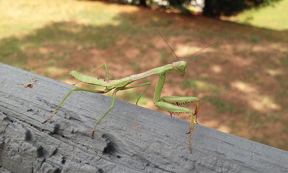 Bug, Praying Mantis, Mantis, Insect, Animal, Wildlife