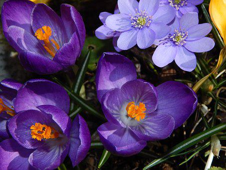 Crocus, Spring Flowers, Early Bloomer, Blue, Purple