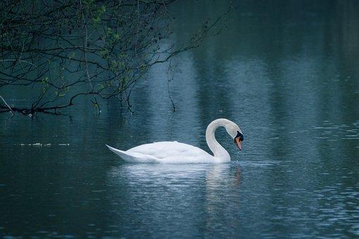 Swan, Water Bird, Swim, Lake, Pond, Water, Waters