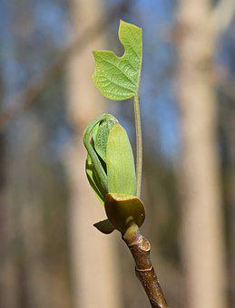 Tulip Tree Poplar, Poplar, Tree, New Leaves, Plant
