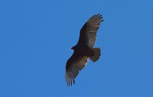 Turkey Vulture, Bird, Scavenger, Vulture, Wildlife
