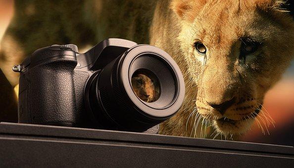 Photography, Lion, Animal, Wild Animal, Mammal