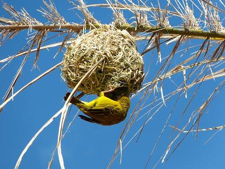 Yellow Weaver Bird, Nest, South Africa
