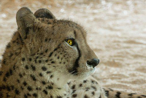 Cheetah, Predator, Africa, Cat, Big Cat, Wild Animal