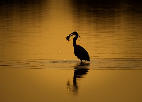 Heron, Bird, Beak, Water Bird, Fishing, Hunt, A Lone