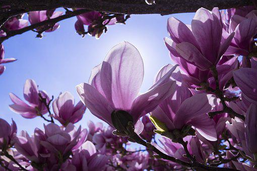Magnolia, Flowers, Pink, Magnolia Blossom, Blütenmeer