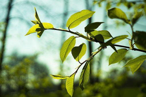 Leaf, Leaves, Green, Spring, Plant, Branch, Tree