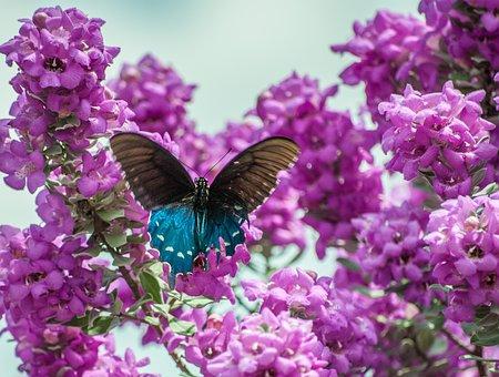 Butterfly, Texas Sage, Sage, Nature, Purple, Flower