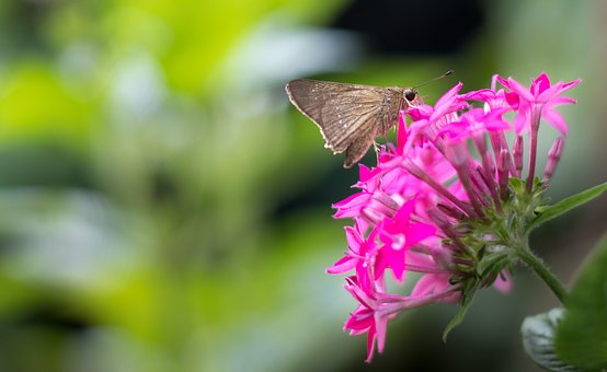 Butterfly, Moth, Buds, Close-up, Dragonfly, Garden
