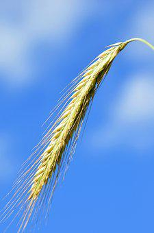 Ear, Halm, Cereals, Grain, Summer, Wheat, Nature
