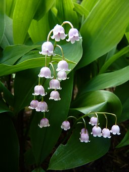 Lily Of The Valley, Flower, Nature, Bell, White, Spring