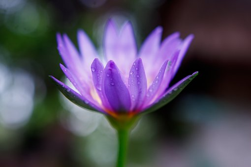 Waterlily, Flower, Purple, Closeup