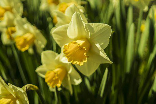 Narcissus, Daffodils, Yellow, Spring, Flower, Blossom