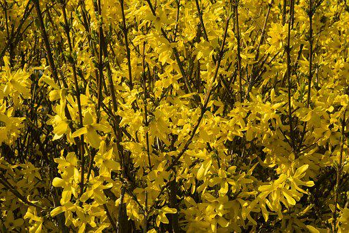 Forsythia, Yellow, Flowers, Sprout, Yellow Flowers
