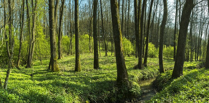 Forest, Trees, Green, Bach, Brook, Nature, Landscape