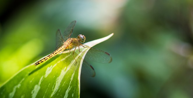 Dragonfly, Buds, Close-up, Garden, Insect, Macro