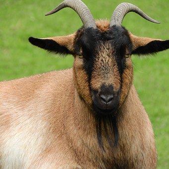 Goat, Corners, Beard, Head