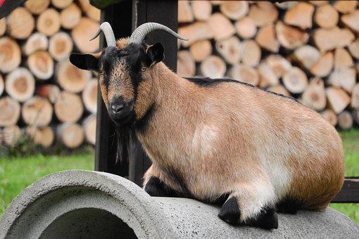 Goat, Brown Goat, Corners, Lying Goat