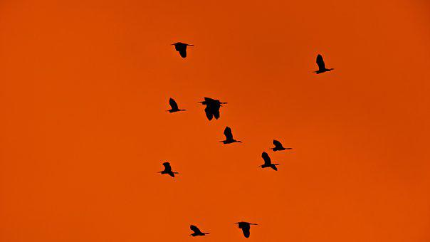 Swarm, Flock, Birds, Migratory Birds, Migration, Sunset
