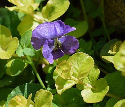 Violet, Moneywort, Wildflower, Flower, Blossom, Bloom