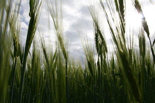 Field, Nature, Cereals, Agriculture, Summer, Halme