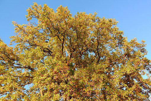 The Crown Of The Tree, Autumn Leaves, Oak