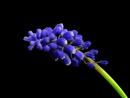 Hyacinth, Flower, Plant, Nature, Muscari, Blossom