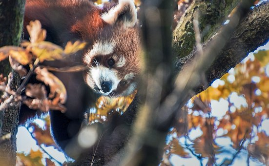Red Panda, Cute, Climbs, Tree, Autumn, Leaves
