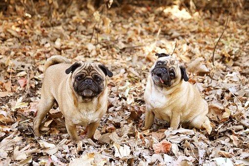 Pug, Dog, Cute, Adorable, Canine, Portrait, Pedigree