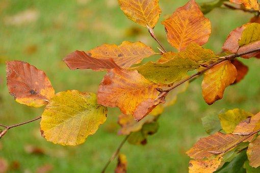 Autumn Leaves, Beech, Fagus, Colorful Leaves