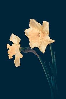 Daffodils, Yellow, Yellow Flowers, Flowers