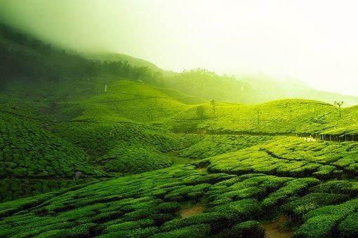 Tea Plantation, Landscape, Scenic, Greenery