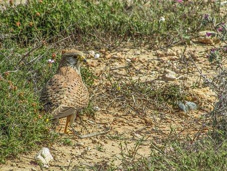 Falcon, Bird, Animal, Hawk, Bird Watching, Wildlife