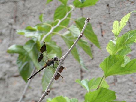 Dragonfly, Libelula, Insect